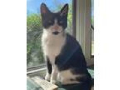 Adopt Precious a Black & White or Tuxedo Domestic Shorthair (short coat) cat in