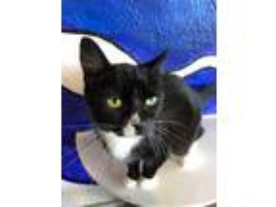 Adopt Anise a Domestic Short Hair