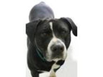 Adopt Jersey Boy a Black - with White Boxer / Border Collie / Mixed dog in