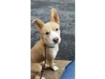 Adopt Aurora a Husky, Mixed Breed