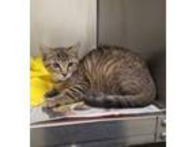 "Adopt CA 123 ""Allison"" a Domestic Short Hair"