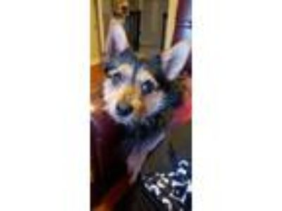 Adopt Mary Pawpkins a Dachshund, Yorkshire Terrier