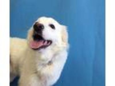 Adopt Sylvester a White Great Pyrenees / Mixed dog in St. Paul, MN (25810344)