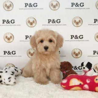 Maltese-Poodle (Toy) Mix PUPPY FOR SALE ADN-104610 - MALTIPOO KATIE FEMALE
