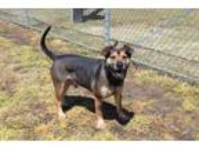 Adopt Spencer a Black German Shepherd Dog dog in Olive Branch, MS (25065010)