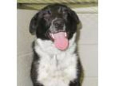 Adopt Joplin a Black - with White Border Collie / Mixed dog in Carrollton