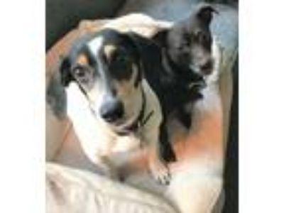 Adopt Ruby and Remy a Beagle, Dachshund