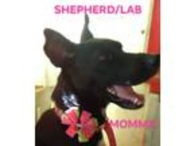 Adopt STELLA a Black - with White Labrador Retriever / German Shepherd Dog /