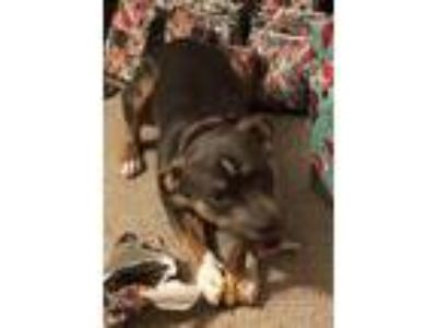 Adopt Lucy a Gray/Silver/Salt & Pepper - with White American Pit Bull Terrier /