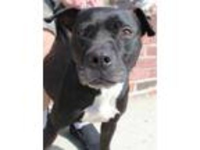 Adopt Shanti a Black Terrier (Unknown Type, Small) / Mixed dog in Brooklyn