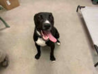 Adopt PETEY a Black - with White Labrador Retriever / Mixed dog in Brighton