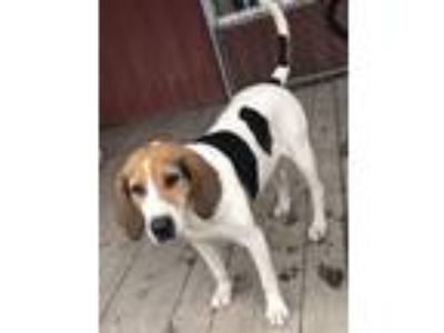 Adopt COLONEL BUDROE a Treeing Walker Coonhound