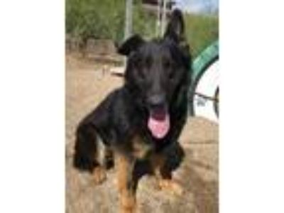 Adopt Keren a German Shepherd Dog / Mixed dog in Cottonwood, AZ (25275089)