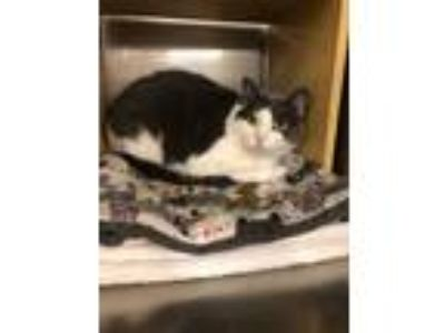 Adopt Twilight a White (Mostly) Domestic Shorthair (short coat) cat in Mays