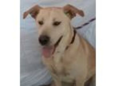 Adopt Bolt a Yellow Labrador Retriever, Shepherd