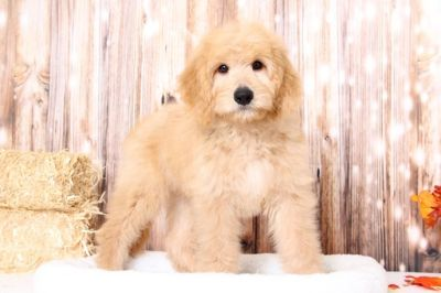 Goldendoodle PUPPY FOR SALE ADN-104943 - Stuart Charming Male GoldenDoodle Puppy