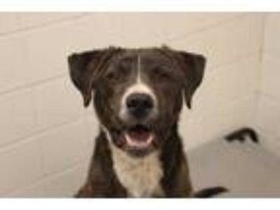 Adopt LEBOWSKI a Brindle - with White American Pit Bull Terrier / Mixed dog in