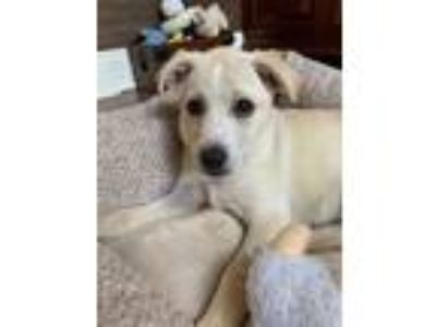 Adopt Becca a Tan/Yellow/Fawn - with White Labrador Retriever / Husky / Mixed