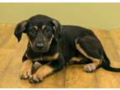 Adopt Mayo a Brown/Chocolate Beagle / Mixed dog in West Allis, WI (25578942)