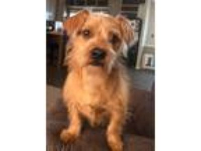 Adopt Fraggle a Wirehaired Terrier