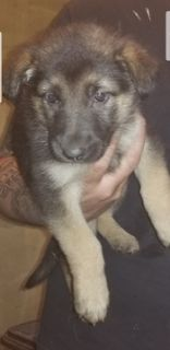 German Shepherd Dog PUPPY FOR SALE ADN-96612 - AKC German Shepherd Puppies 5 males 2 females