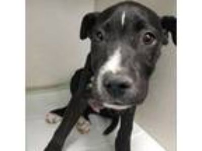 Adopt Gizmo-88430 a Black Pit Bull Terrier dog in Las Cruces, NM (25559993)