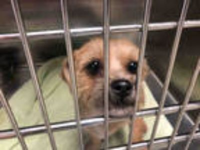 Adopt RICO a Tan/Yellow/Fawn Terrier (Unknown Type, Medium) / Mixed dog in Fort