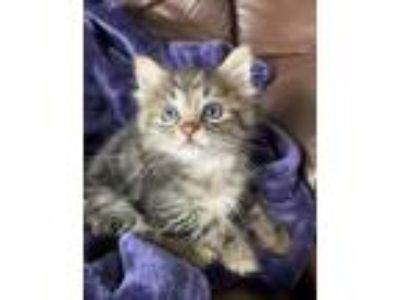 Adopt Oliver - Coming Soon a Tabby