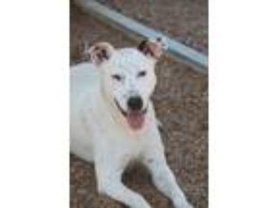 Adopt Milena a White - with Gray or Silver Labrador Retriever / Boxer / Mixed