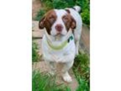 Adopt Henry a Basset Hound, Mixed Breed