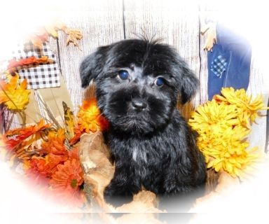 Poodle Dogs For Adoption Classifieds In Cicero Illinois