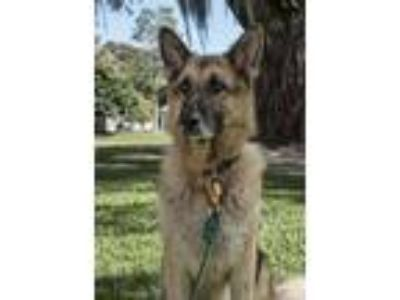 Adopt SOS Urgent foster needed a German Shepherd Dog
