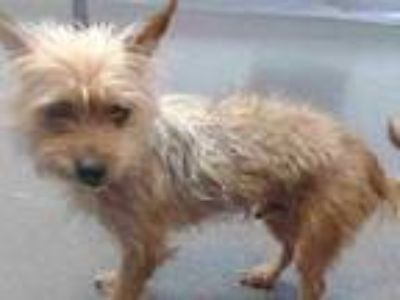 Adopt 20-00932 a Yorkshire Terrier