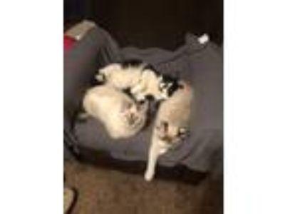 Adopt Rosie Monkey Kitty a Black & White or Tuxedo Domestic Longhair / Mixed cat
