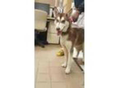 Adopt OMEGA a Brown/Chocolate Husky / Mixed dog in Mesquite, TX (24022020)