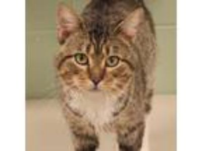 Adopt Friskee a Brown or Chocolate Domestic Shorthair / Mixed cat in Naperville