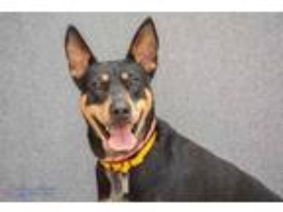 Adopt Harley a Black German Shepherd Dog / Australian Cattle Dog / Mixed dog in