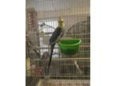 Adopt Teal a Cockatiel bird in Grandview, MO (25911882)