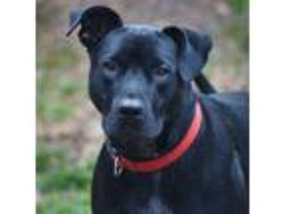 Adopt Ivan a Labrador Retriever / Pit Bull Terrier / Mixed dog in Santa Rosa