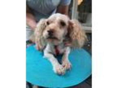 Adopt DAISY a Poodle