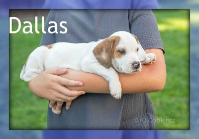 Dallas: Male Beabull Puppy