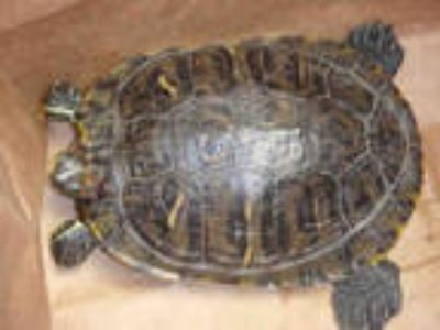 Adopt DIVER a Turtle - Water / Mixed reptile, amphibian, and/or fish in