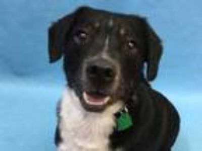 Adopt Sunny a Black Australian Cattle Dog / Beagle / Mixed dog in Coon Rapids