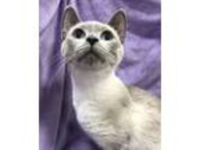 Adopt Leslie a Siamese / Mixed (short coat) cat in Knoxville, TN (25658527)