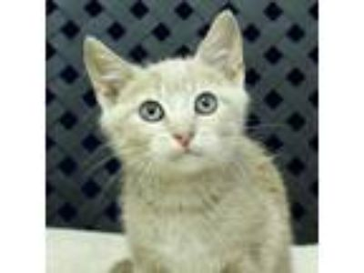 Adopt Charlie a Domestic Shorthair / Mixed cat in Midland, TX (25841065)