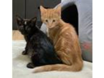 Adopt Cocktail Kitties! a Black (Mostly) Domestic Shorthair (medium coat) cat in