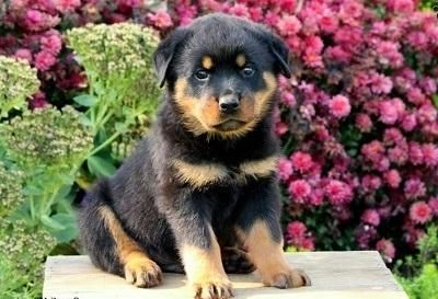 Magnificent Registered Rottweiler Puppies Available