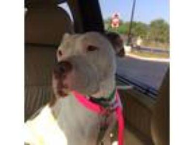 Adopt Hazel a American Staffordshire Terrier