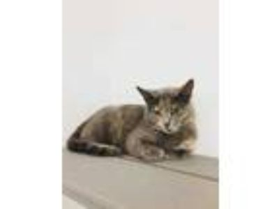 Adopt Ida a Gray or Blue American Shorthair / Domestic Shorthair / Mixed cat in