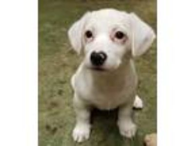 Adopt Puppies by Betty #3 a Retriever (Unknown Type) dog in Hardeeville